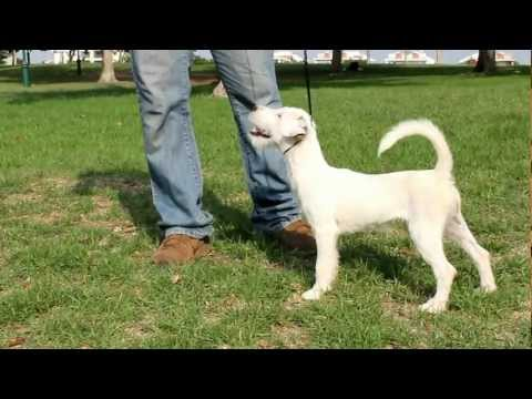 Levi's Grand Must Stay - Maxi movement, Parson Russel Terrier bred by SnirOrr Levi