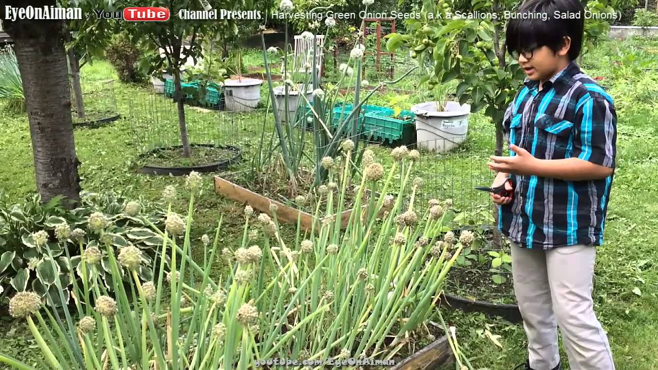 harvesting green onion seeds a k a bunching spring scallions