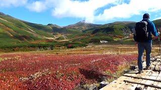 チングルマの紅葉ピーク 赤色鮮やかに 大雪山系旭岳