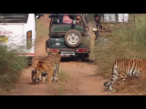 Tadoba 3tigeress with 8cubs and one tiger