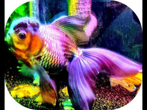 Goldfish Tank Update. Oranda Changing Colors