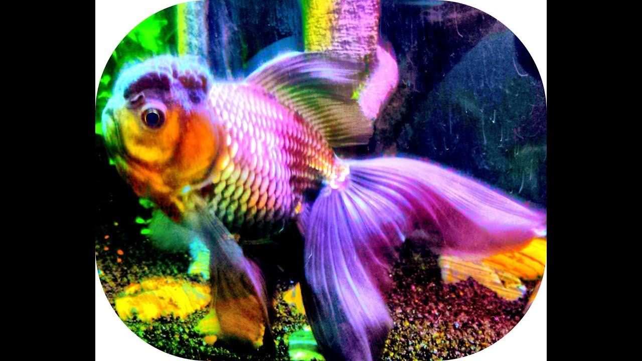 goldfish colour ile ilgili görsel sonucu