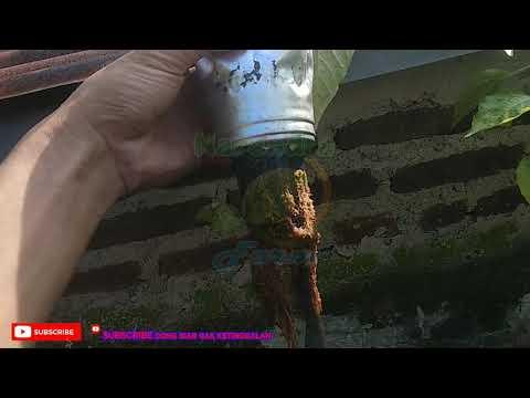 Perawatan Cabe Hidoponik Minggu ke 4, Penyemprotan Insectisidaиз YouTube · Длительность: 7 мин26 с