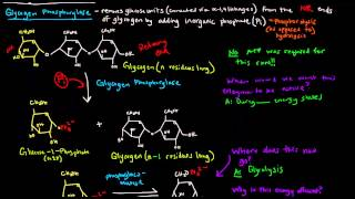 Glycogen (Part 3 of 4) - Glycogen Breakdown
