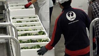 JAL従業員が野菜の出荷作業 乗客減って異業種に参戦