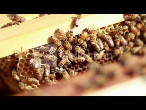 FILE:1 3 OF NATION'S HONEY BEES GONE SINCE 2006