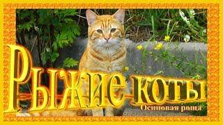 Рыжие коты  Осиновая Роща