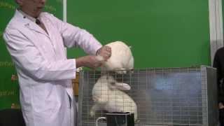 Искусственное осеменение кроликов.Практика. Мастер-класс на выставке АгроФерма 2014
