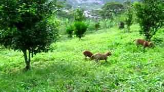 Cazaleón: Cachorros RHODESIAN RIDGEBACK I