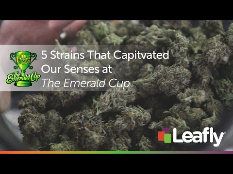 5 Strains That Captivated Our Senses at the Emerald Cup
