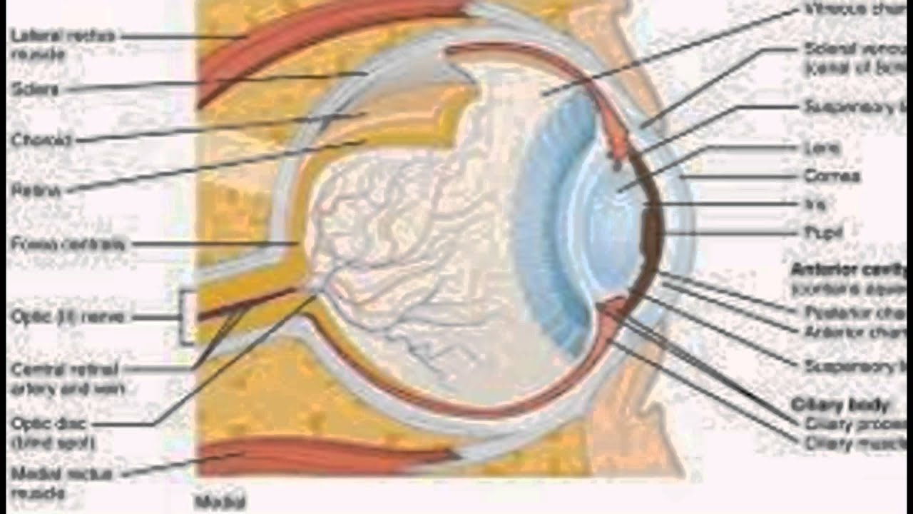 Diagram of the eye and its functions youtube diagram of the eye and its functions ccuart Image collections