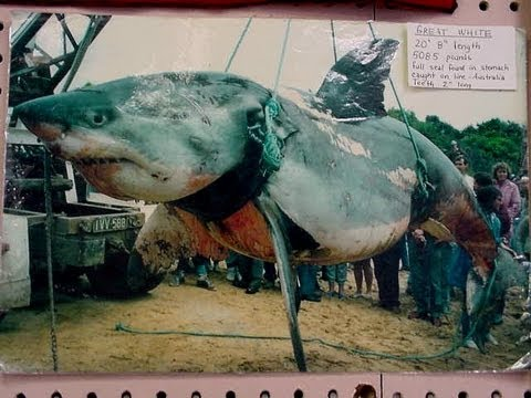 Worlds Biggest Shark Ever Caught - YouTube  |Biggest White Tiger In The World
