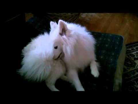 Scamper, the amazing American Miniature Eskimo dog - Funny!