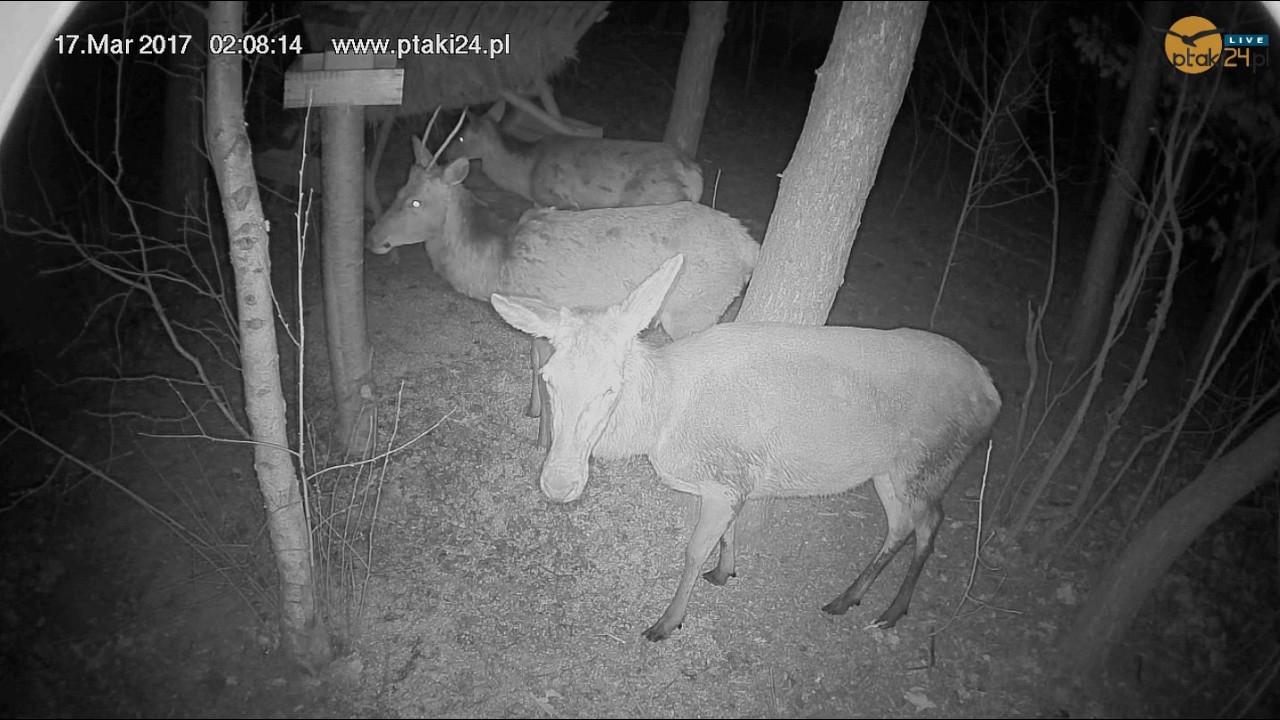Jeleń szlachetny i łanie w karmisku w lesie na Podkarpaciu