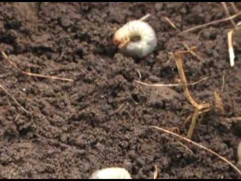 how to to kill lawn grubs