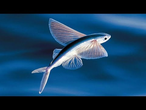 The Evolution Of Flying Fish