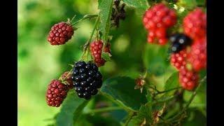 Borówki, jeżyny, truskawki -  częste choroby na krzewach owocowych