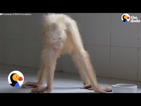 White Orangutan Locked Up For 2 Days Is Finally Free | The Dodo