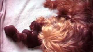 Jack Russell - Yorkshire Terrier Puppies   2 Days Old