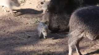 Peccary Pups at the San Francisco Zoo