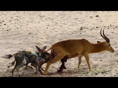 A Gruesome Vicious Kill by Wild Dogs in South Luangwa National Park
