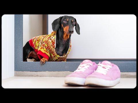 Mama I coming home! Cute dachshund dog video!