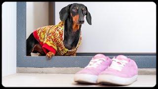 mama-i-coming-home-cute-dachshund-dog-video