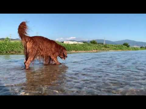 Fun river play with Irish setter