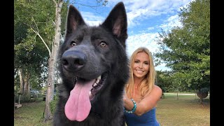 Download Video AMERICAN BLUE BAY SHEPHERD DOG - Are they really Blue? MP3 3GP MP4