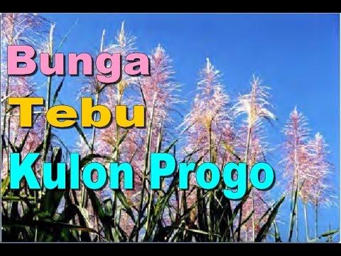 bunga-kembang-tebu---wisata-alam-kulon-progo---sugarcane-flower-farm-[hd]