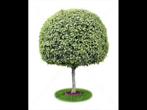ficus houseplants healthy ficus trees houseplants