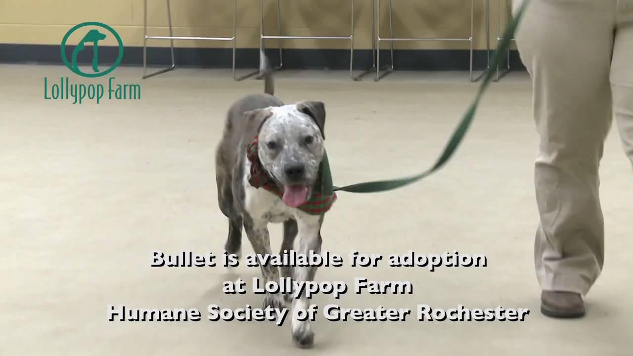 Meet Bullet: Lollypop Farm Adoptable Pet - YouTube