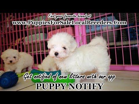 Maltese Puppies For Sale Georgia Local Breeders Near Atlanta Ga