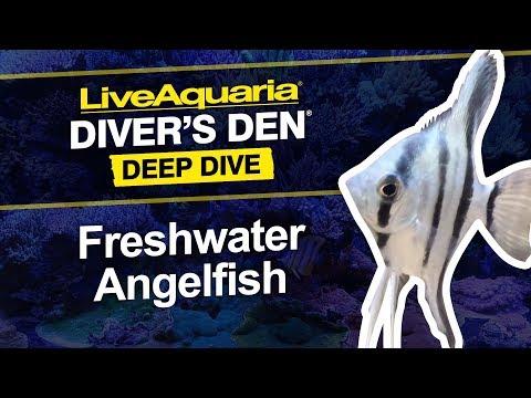 LiveAquaria® Diver's Den® Deep Dive: Freshwater Angelfish