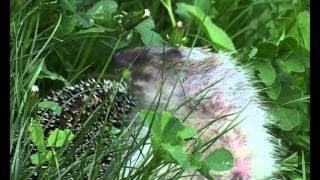 Ёж обыкновенный помогает бороться с вредителями на даче (видео HD качества)