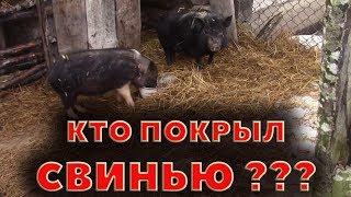 Кто покрыл свинью? Нестыковка в китайском свиноводстве