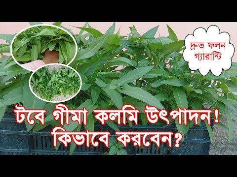 টবে গীমা কলমি উৎপাদন । Gima Kalmi Production in Pot or Container