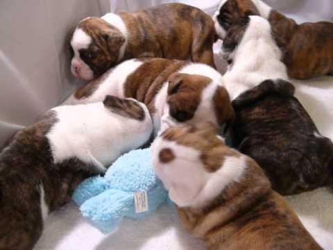 English Bulldog Puppies 3 Weeks Old Playing Youtube