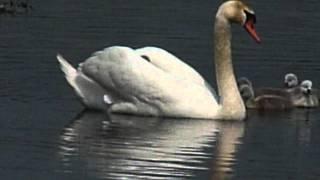 Cygnus Olor / Mute Swan / Knobbelzwaan / Cygne tuberculé / Höckerschwan /Łabędź niemy /3