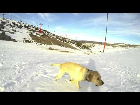 Labrador Retriever happy snow run [GoPro]
