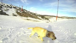 Labrador Retriever Happy Snow Run [gopro]