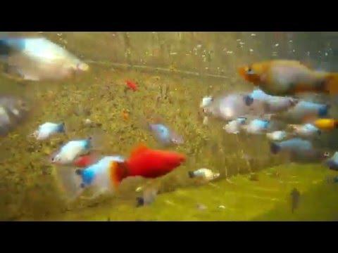 Seafoam Mickey Mouse Platy Underwater Fish