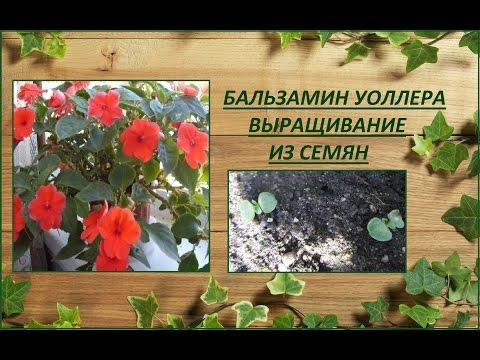 Бальзамин Уоллера. Выращивание из семян.