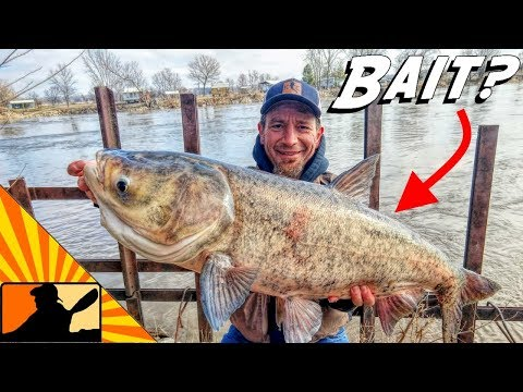 Catching GIANT Big-Head Carp For Bait!