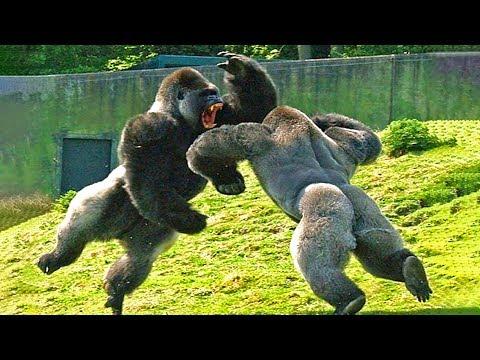 15 сумасшедших битв животных снятых на камеру