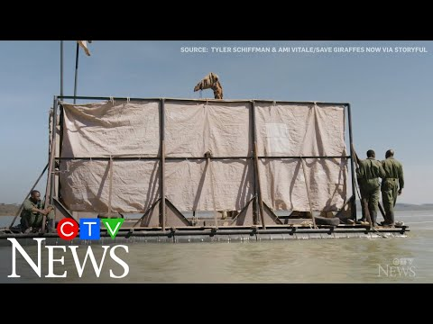 Rescue crew uses steel barge to relocate stranded giraffe