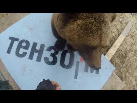 Как мы взвешивали медведя (видео с го-про)