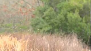 Awesome Quail Hunting Videos - Sportsmanonline.com - German Short Haired Pointer Retrieves Quail