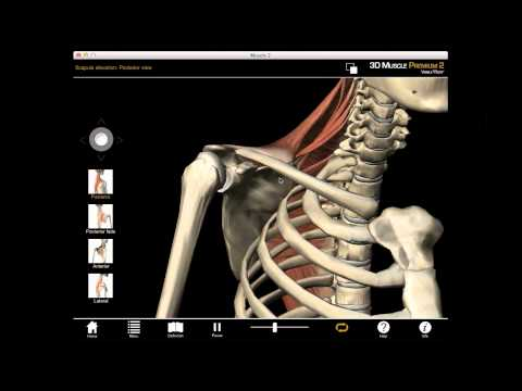 Scapula Elevation muscle action with Muscle Premium