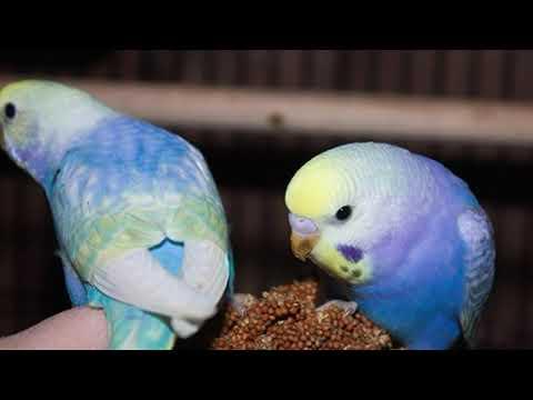 Расцветки оперения волнистого попугая // какие они бывают //стандарты ВОЗВП